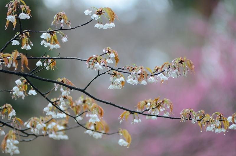 京都新聞写真コンテスト 春いっぱい