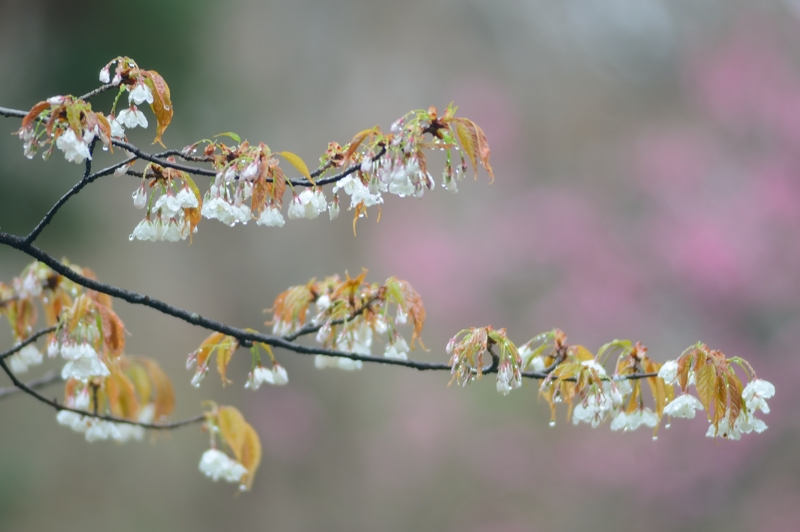 京都新聞写真コンテスト 春の雨