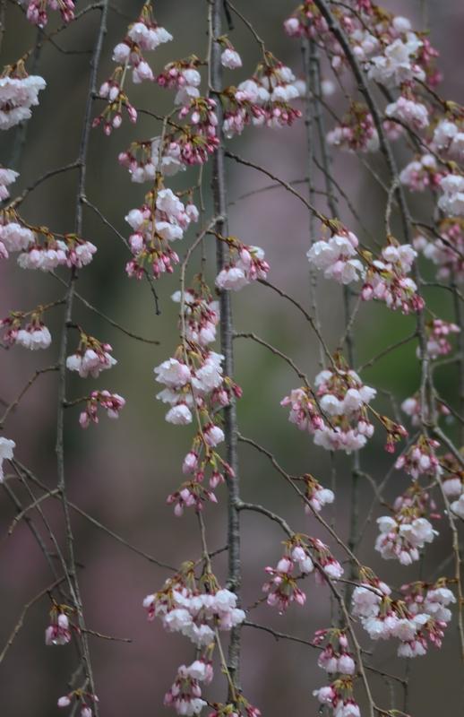京都新聞写真コンテスト 春色
