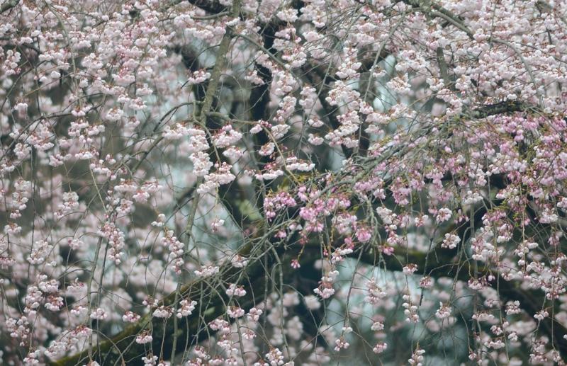 京都新聞写真コンテスト 花の宴