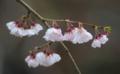 京都新聞写真コンテスト 春雨に咲く