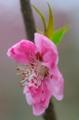 京都新聞写真コンテスト 一輪の桃