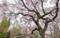 京都新聞写真コンテスト 桜の季節