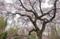 京都新聞写真コンテスト 春を咲き誇る