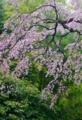 京都新聞写真コンテスト 桜花爛漫