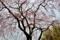 京都新聞写真コンテスト 枝垂桜