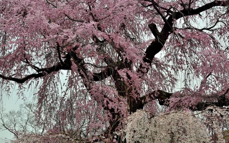 京都新聞写真コンテスト 古都の桜
