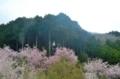 京都新聞写真コンテスト 春色の朝
