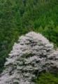 京都新聞写真コンテスト 北山に咲く