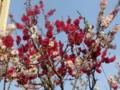 東落合あたりの桜