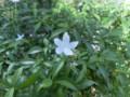 タイの花6