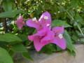タイの花5