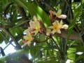 タイの花4