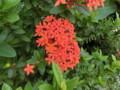 タイの花3
