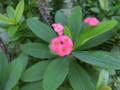 タイの花2