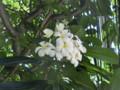 タイの花1