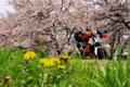 [KTM][690DUKE][桜][たんぽぽ][キャンプツーリング][バイクのある風景]cherryblossoms