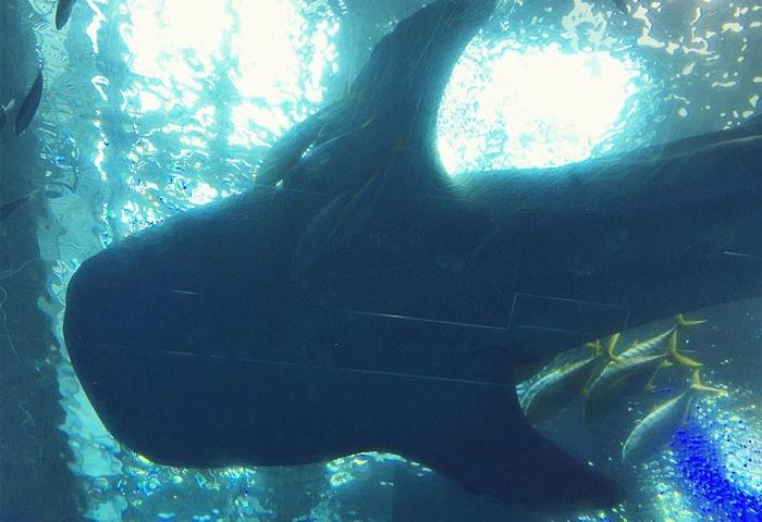 下から見上げるジンベイザメ