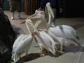 [鳥][ペリカン][おたる水族館]