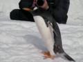 [ペンギン][小樽][おたる水族館]