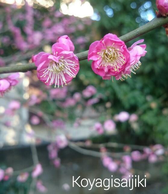 f:id:koyagi-saijiki:20170219122452j:image