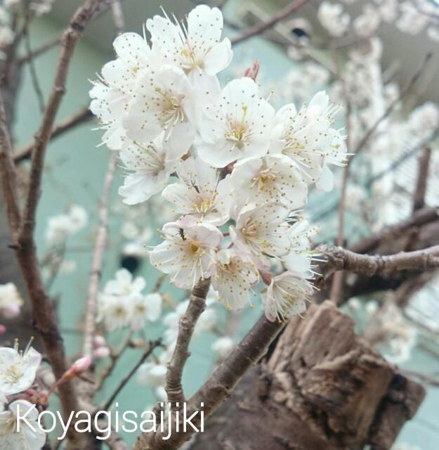 f:id:koyagi-saijiki:20170316184359j:image