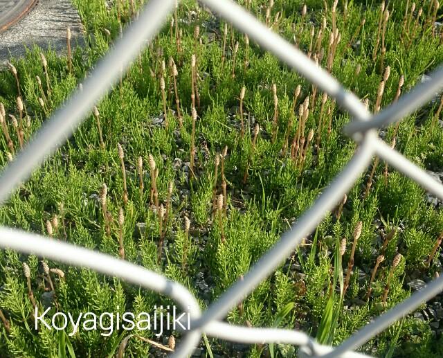 f:id:koyagi-saijiki:20170325191235j:image