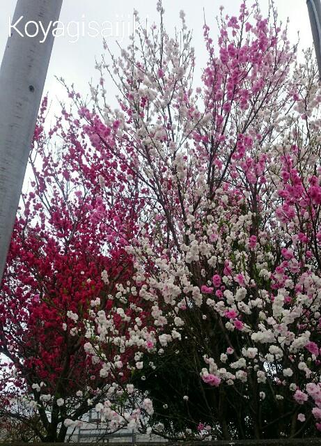 f:id:koyagi-saijiki:20170407153625j:image