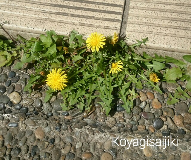 f:id:koyagi-saijiki:20170416191312j:image