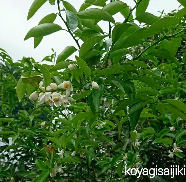 f:id:koyagi-saijiki:20170515203527j:image
