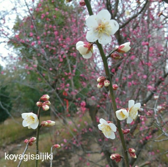 f:id:koyagi-saijiki:20180119181759j:image