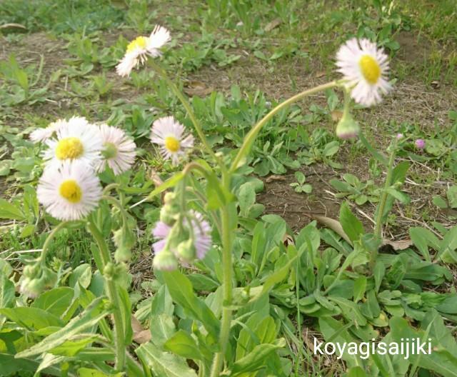 f:id:koyagi-saijiki:20180403175110j:image