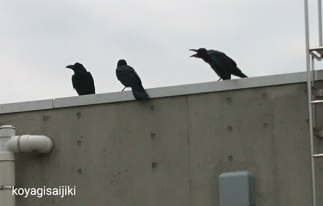 f:id:koyagi-saijiki:20180618211728j:image