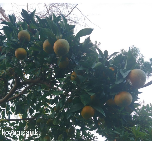 f:id:koyagi-saijiki:20181206233934j:image