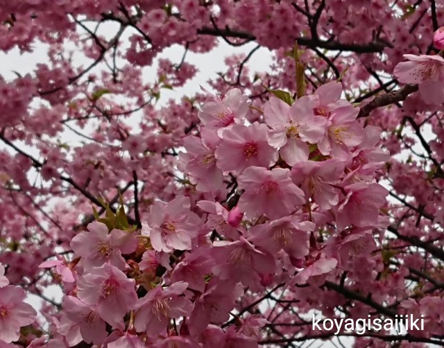 f:id:koyagi-saijiki:20190227185742j:image