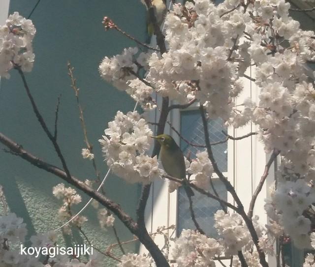 f:id:koyagi-saijiki:20190314144701j:image