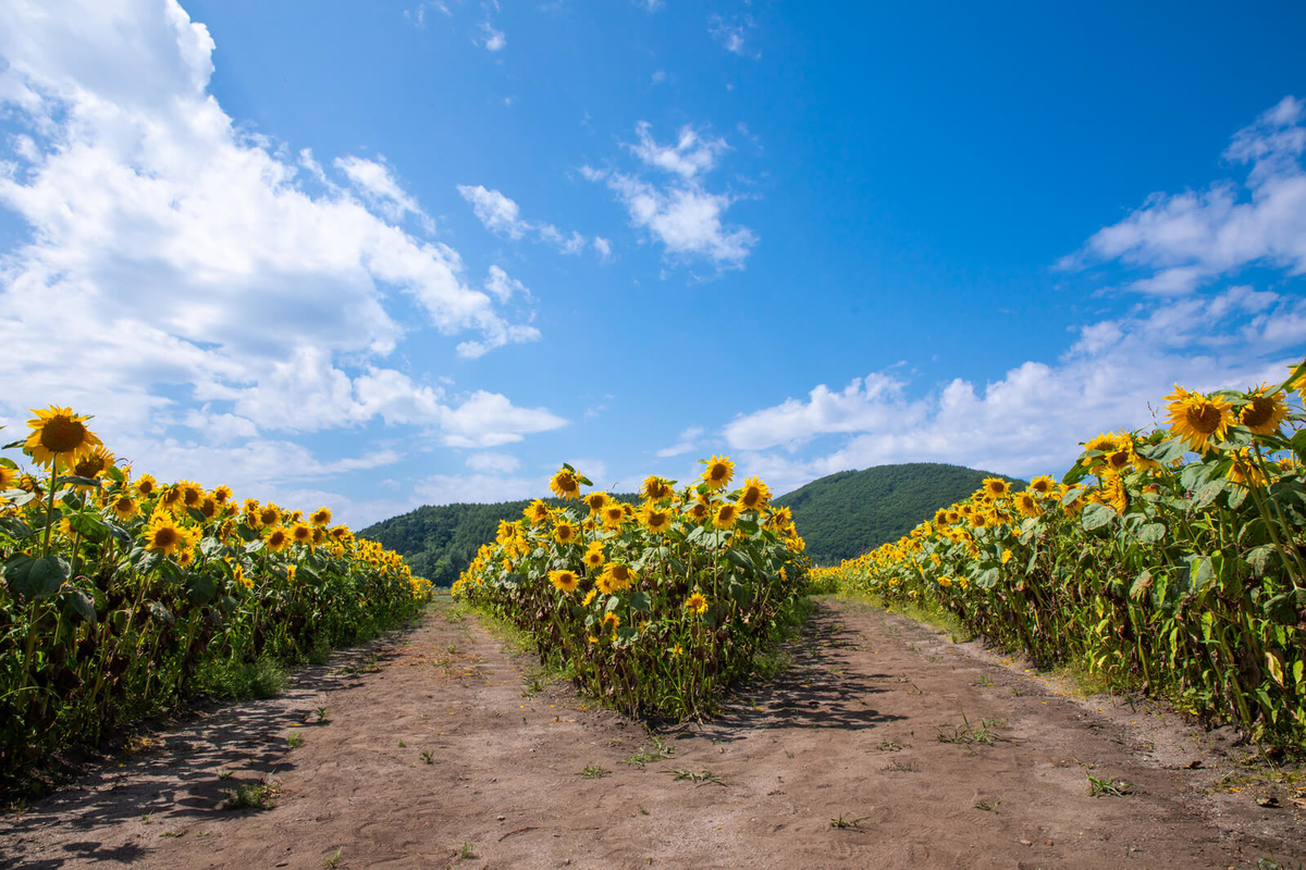 向日葵畑の分かれ道