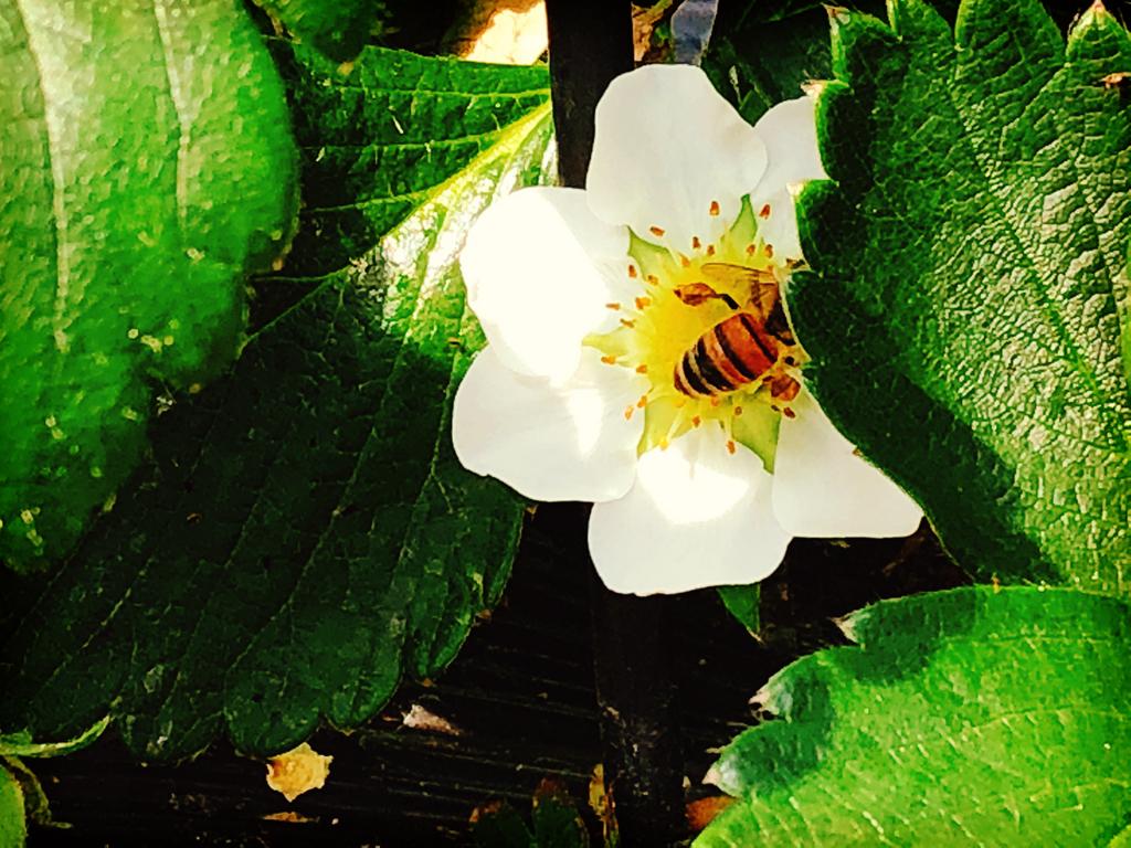 ビニールハウスの中にハチさんが忙しそうに飛んでいました【適材適食】小園亜由美(管理栄養士・野菜ソムリエ上級プロ)