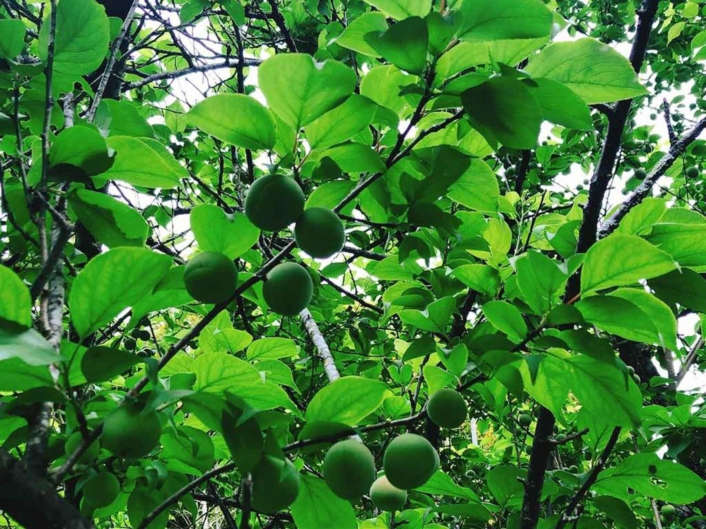 梅の実がなっていた! 佐賀【適材適食】小園亜由美(管理栄養士・野菜ソムリエ上級プロ)