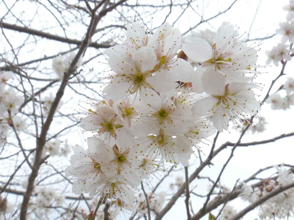 セイヨウミザクラ【適材適食】小園亜由美(管理栄養士・野菜ソムリエ上級プロ)