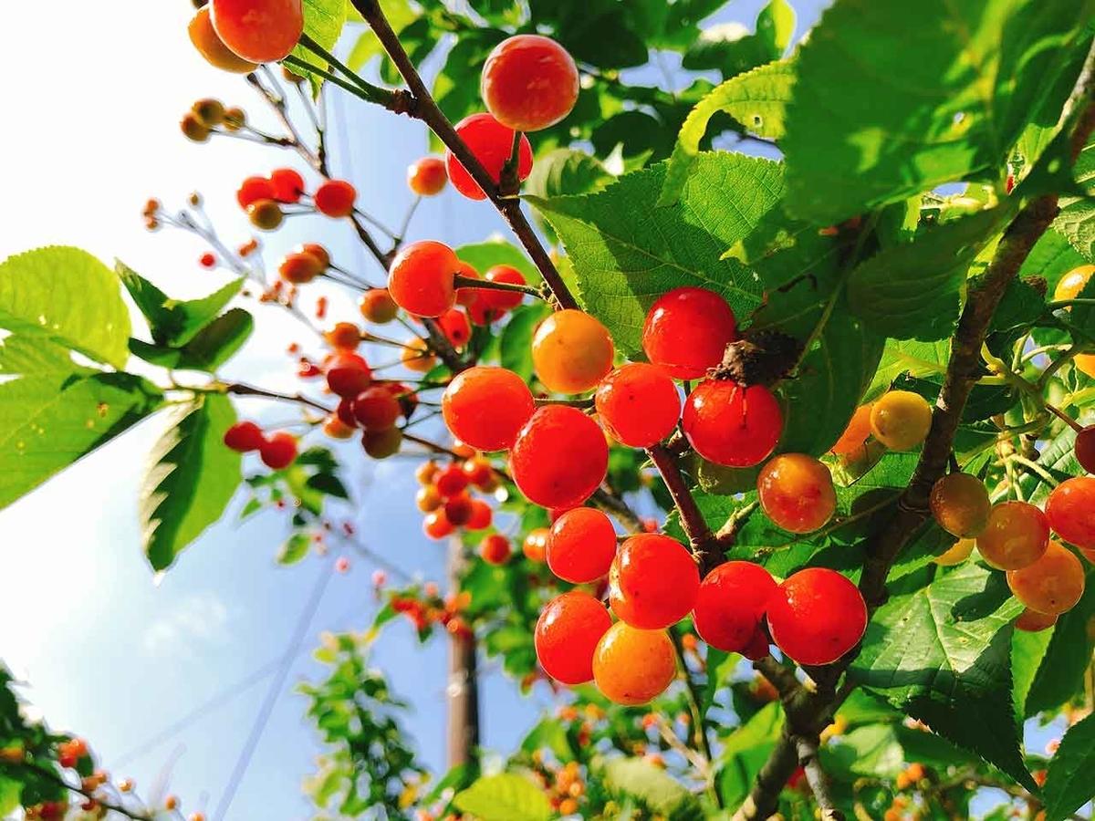 GW「ほぼ野生のサクランボ」祖母の家の裏山になっている桜桃を収穫したよ【適材適食】小園亜由美(管理栄養士・野菜ソムリエ上級プロ)