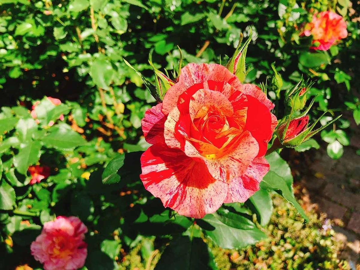"""GW「""""マサコ"""" それは皇后さまをイメージした薔薇」春のバラフェア2019@石橋文化センターに行ってきた@福岡・久留米【適材適食】小園亜由美(管理栄養士・野菜ソムリエ上級プロ)"""