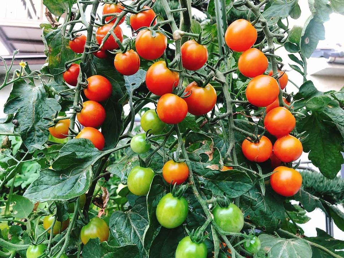 「たわわなミニトマトで夏の一品」たわわになったミニトマトを発見!@夏休み@佐賀【適材適食】小園亜由美(管理栄養士・野菜ソムリエ上級プロ)