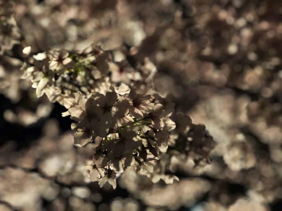 「福岡で観測史上最も早いサクラの開花を記念して。」最も遅い2021年春のサクラの報告【適材適食】小園亜由美(管理栄養士・野菜ソムリエ上級プロ)糖尿病専門・甲状腺専門クリニック勤務@福岡姪浜・福岡天神
