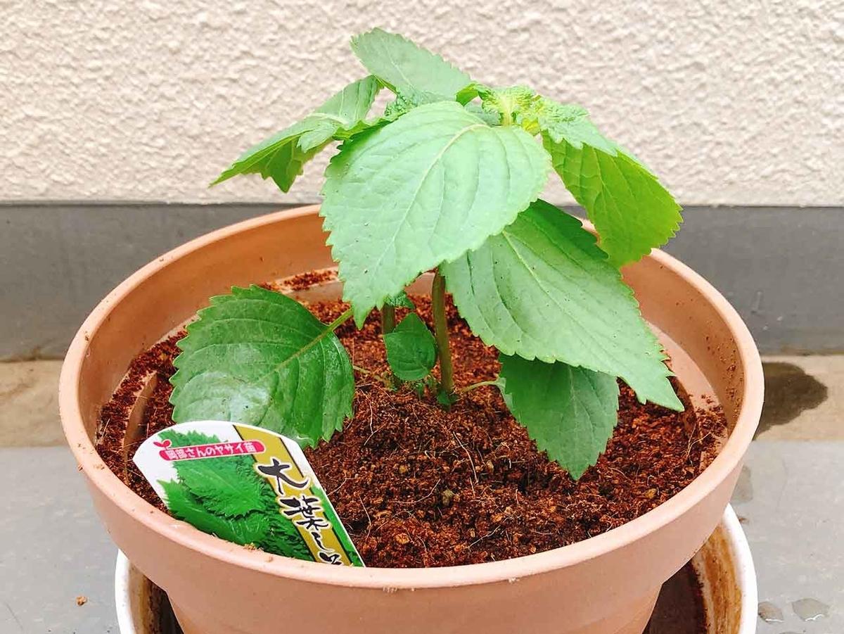 「KAGOMEのトマトの土でベランダ菜園はじめました」トマトとバジルは一緒に植えた方がいいらしい。【適材適食】小園亜由美(管理栄養士・野菜ソムリエ上級プロ)糖尿病専門・甲状腺専門クリニック勤務@福岡姪浜・福岡天神