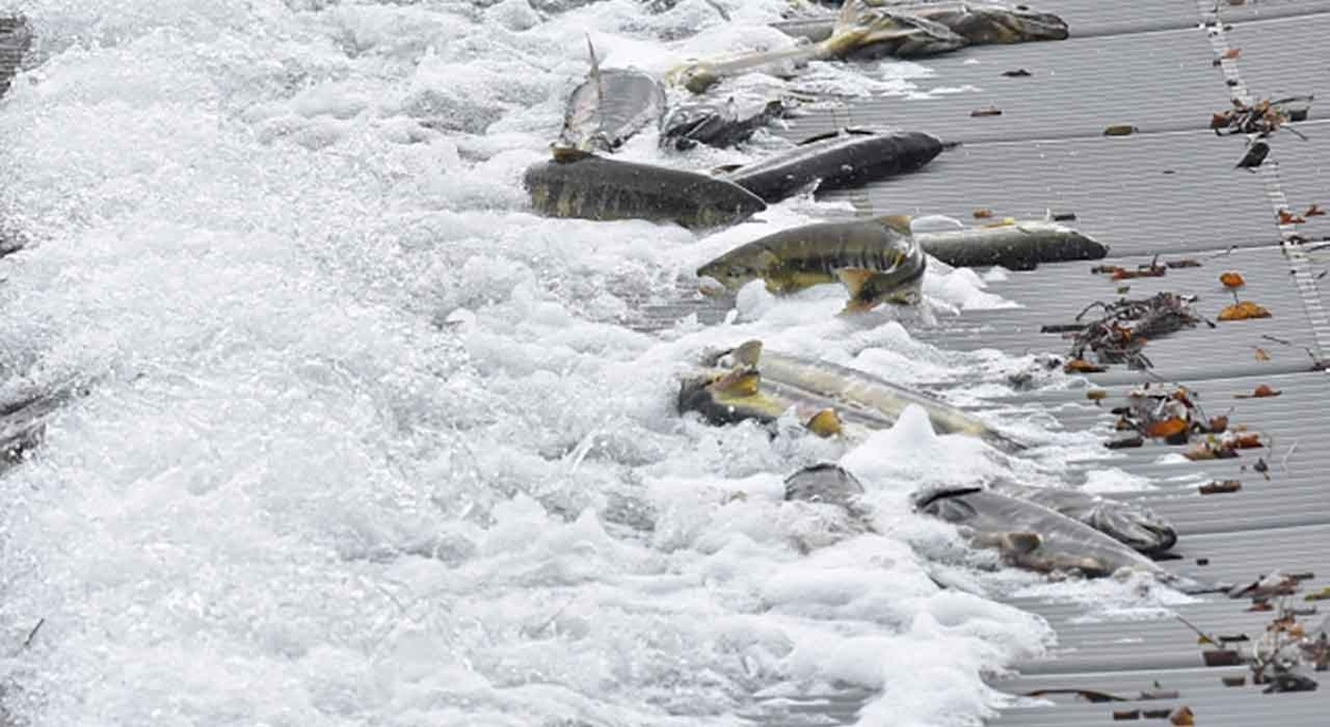 「今、北海道の海が大変な事になっている!」秋鮭もイクラもウニも・・・。その原因は?【適材適食】小園亜由美(管理栄養士・野菜ソムリエ上級プロ)糖尿病専門・甲状腺専門クリニック勤務@福岡姪浜・福岡天神