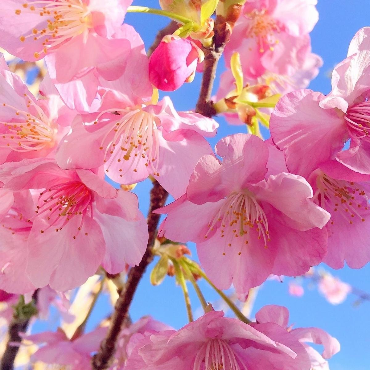 ケーズルーム白浜 河津桜