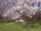 [水元公園の桜]