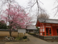 [国府台で桜を見に]