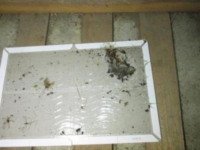 (天井裏小動物対策)?ネズミ取り仕掛け済の捕獲結果例.JPG